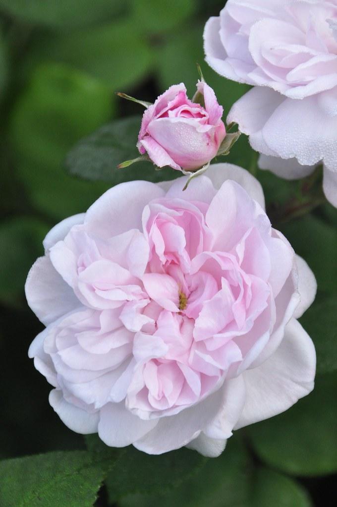 fantin latour centifolia rose mimmi elg flickr. Black Bedroom Furniture Sets. Home Design Ideas