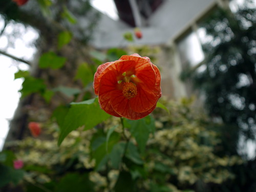 Orange Flower 2, Auckland Winter Gardens | by Yortw