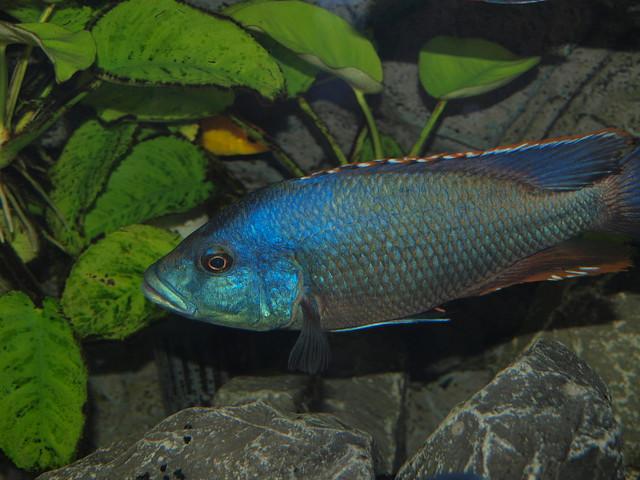 Хаплохромис Ливингстона (Nimbochromis livingstoni), изображение картинка рыбы