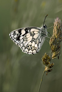 Marbled White | by Stan234