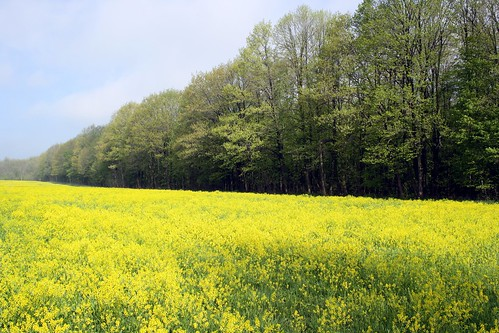 field of yellow | by iris254