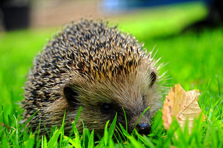 A hedgehog in my garden!!! And he's very very shy!"