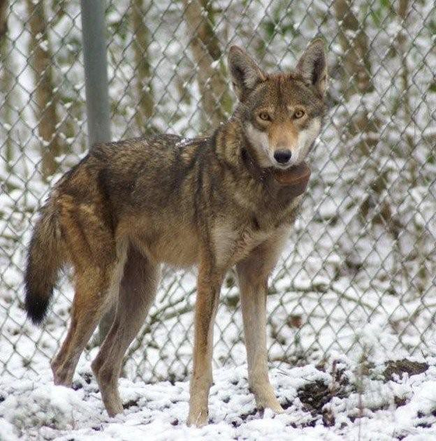 Image Result For Wolf Colors