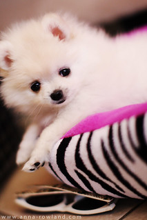 Butter, the Teacup Pomeranian | by hapatxn