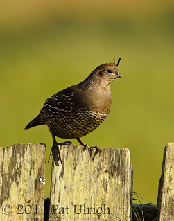 Female quail | by Pat Ulrich