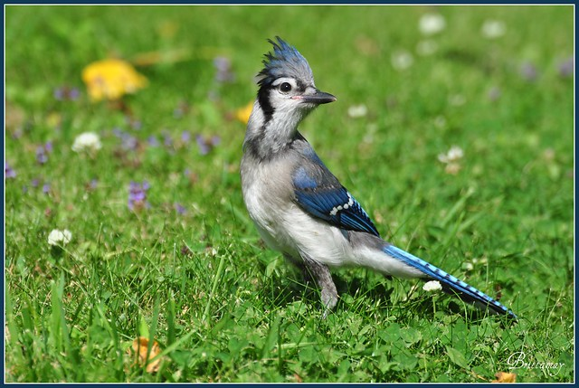 Baby Blue Jays and more Baby Blue Jays | Flickr - Photo ...