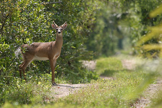 white-tailed deer at Fakahatchee Strand | by Photomatt28