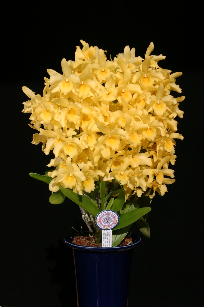 Denllow song candy yamamoto dendrobiums flickr yellow song candy by yamamoto dendrobiums mightylinksfo