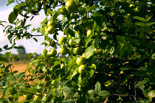 Green apples | by DavidAndersson (away)