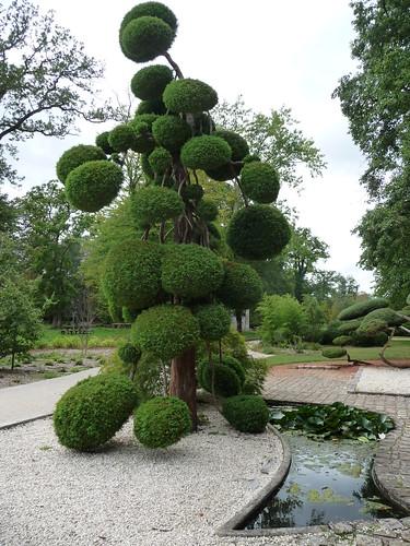 tr s beau sp cimen d 39 arbre nuage cryptomenia japonica