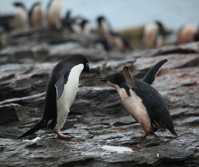 Adélie Penguin chick flaps with excitement--food is coming!