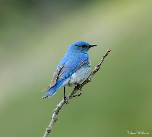 Mountain Bluebird - Sialia currucoides | by Todd Boland