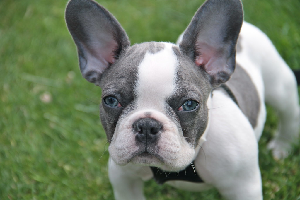 Frank Sinatra...ol blue eyes | I came across this adorable l ... White Baby French Bulldog