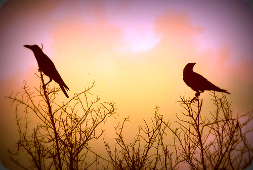 crows | by shambe