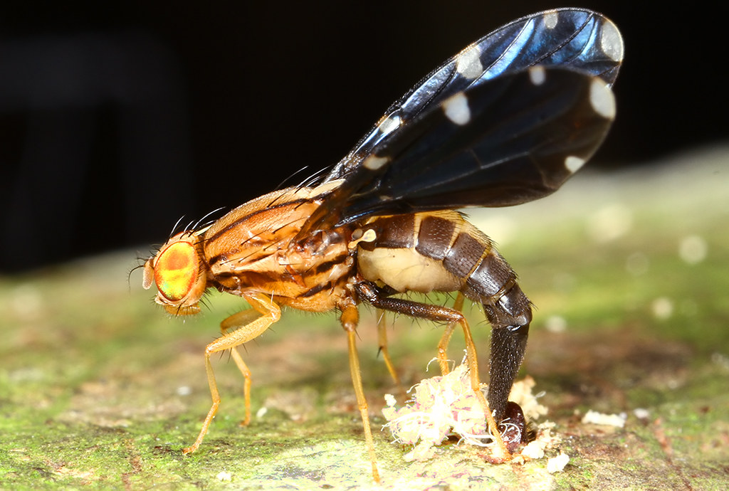 Fruit fly | A Fruit fly depositing eggs in a tree trunk ...