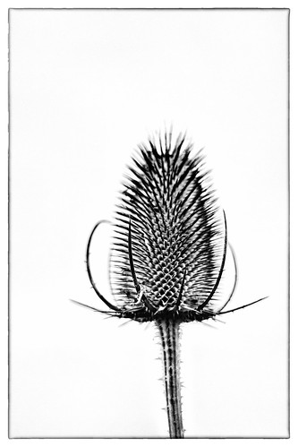 Teasels | by PeterChinnock
