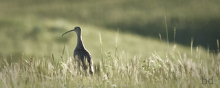 Long Billed Curlew | by barbdpics