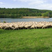Flock of Sheep at the Lake