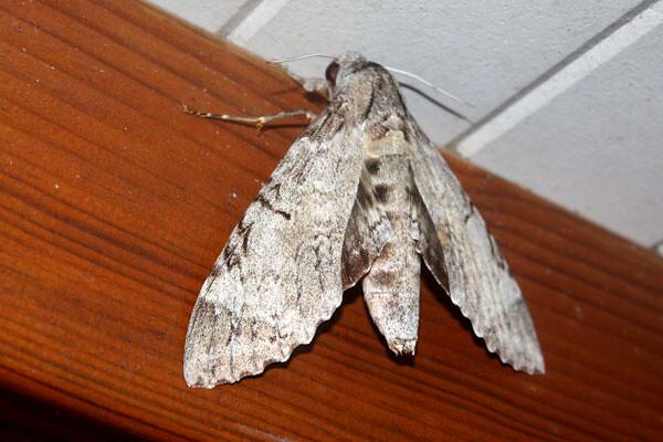Papillon de nuit gris cendr mokymok flickr - Gros papillon de nuit dangereux ...