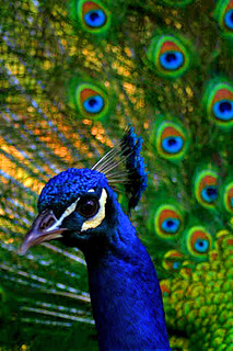 PeacockDisplay2 | by Sujith Dream-catcher