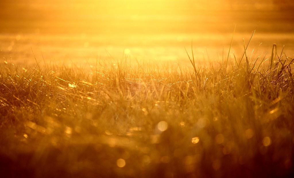 fields of gold purva 82 flickr