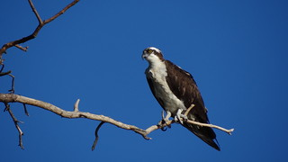 Osprey | by jdreeves12