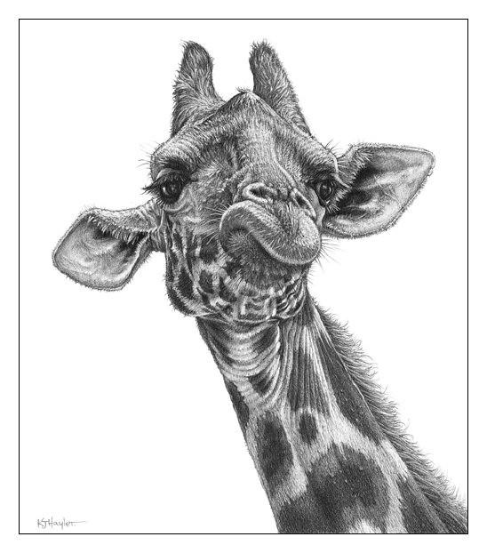 Gallery For gt Drawings Of Giraffes Head