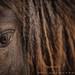 Icelandic Horse Detail