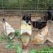 Whitey the Chicken snubs her beak at freshly picked organic kale 2