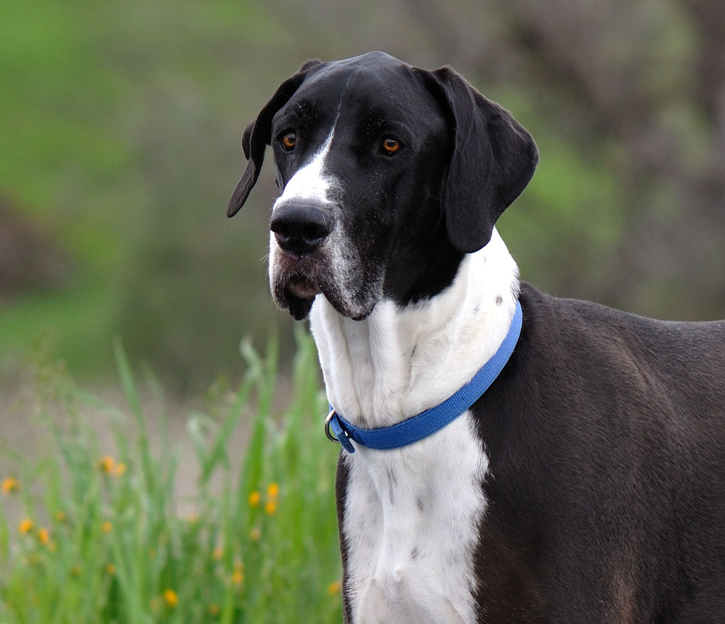 Mantle Great Dane Pictures of Mantle Great Dane | by