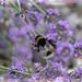 White Tailed Bumble Bee On Lavender