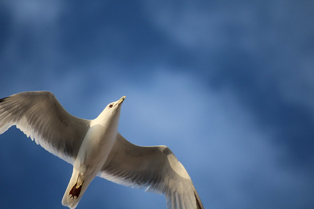 seagull Wallpaperjonathan Jonathan Livingston Seagull Images