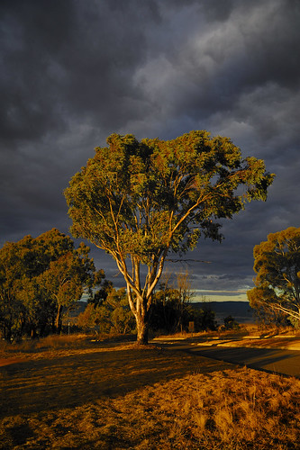 Canberra Tree | by Ballygrant Boy