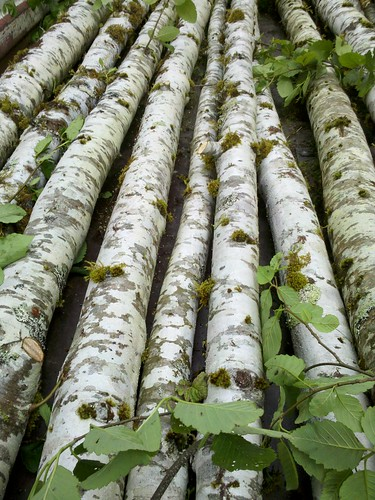birch poles alder poles | by Oregon Coastal Flowers