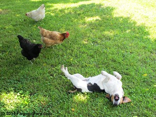 Bert and chickens 1 | by Farmgirl Susan