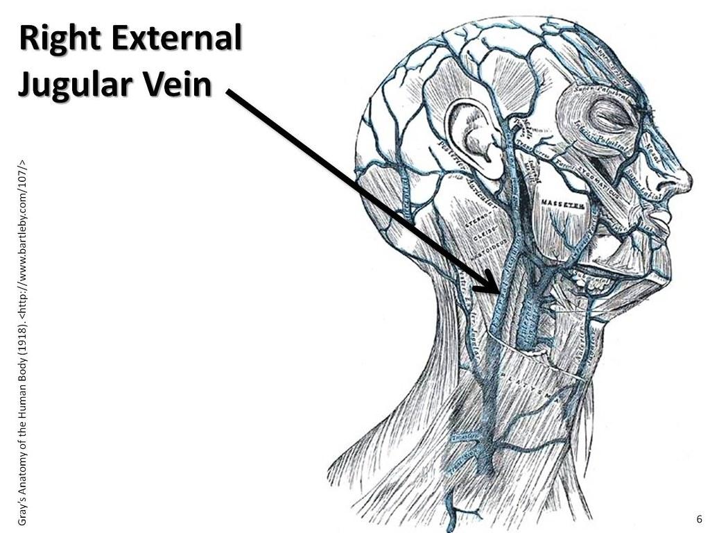 Right external jugular vein - The Anatomy of the Veins Vis… | Flickr