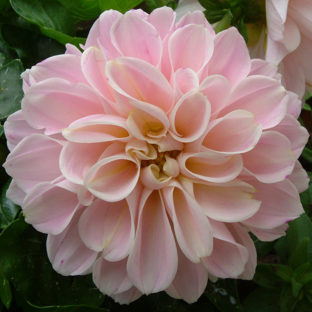 Beautiful pink dahlia flower of bermondsey sqaure hotel l flickr beautiful pink dahlia flower of bermondsey sqaure hotel london se1 14 july 2011 izmirmasajfo