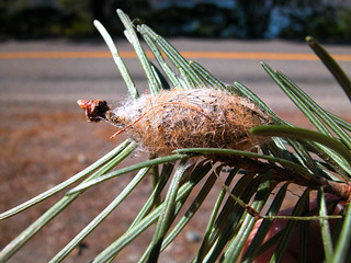 Douglas-fir moth_cocoon | by Washington State Department of Natural Resources