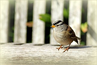 White Crowned Sparrow!   (explored) | by K. Menzel Photography ( on and off)