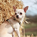 Chihuahua on a hay bale