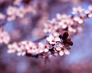 Cherry Blossom | by Sprocket_Rocket
