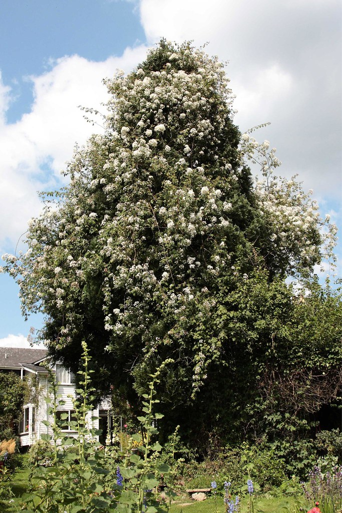 Rosa Kiftsgate Our Kiftsgate Rose Now Reaches The Top Of