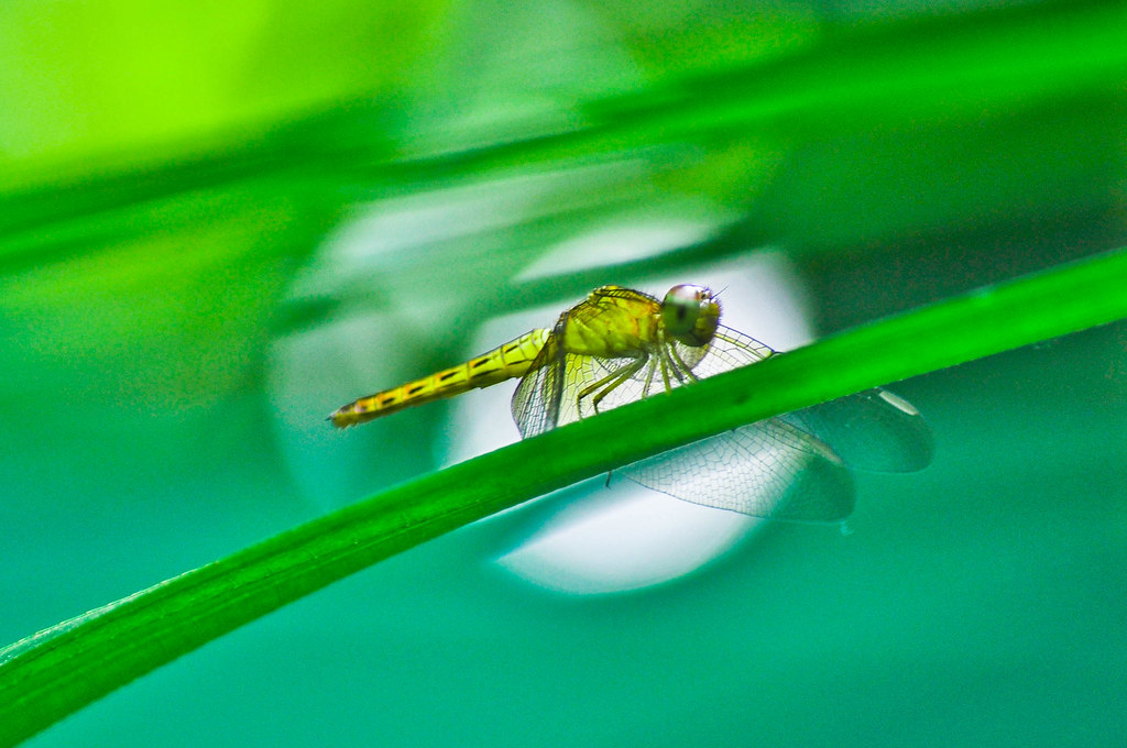 Moonlighting dragonfly ...