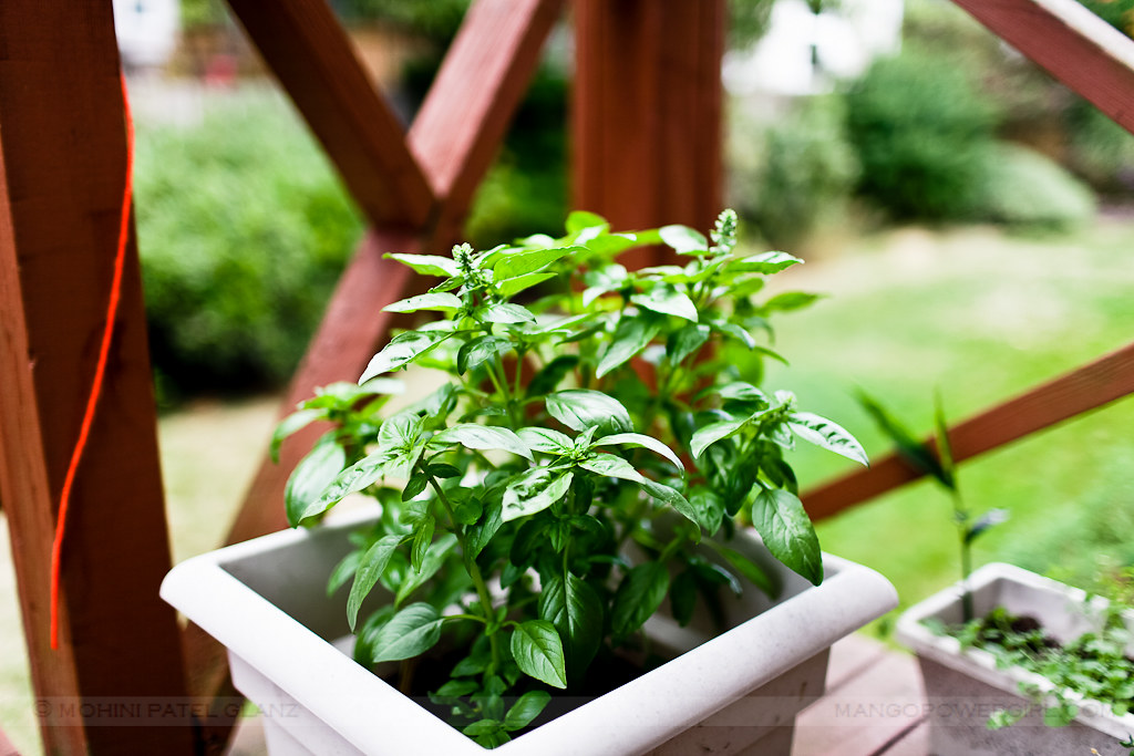 Growing Italian Basil
