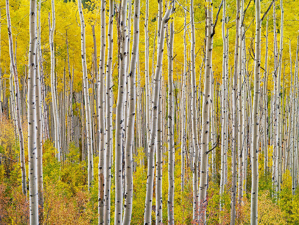 Aspen Forest Independence Pass Colorado Fall Pedro - Where is aspen