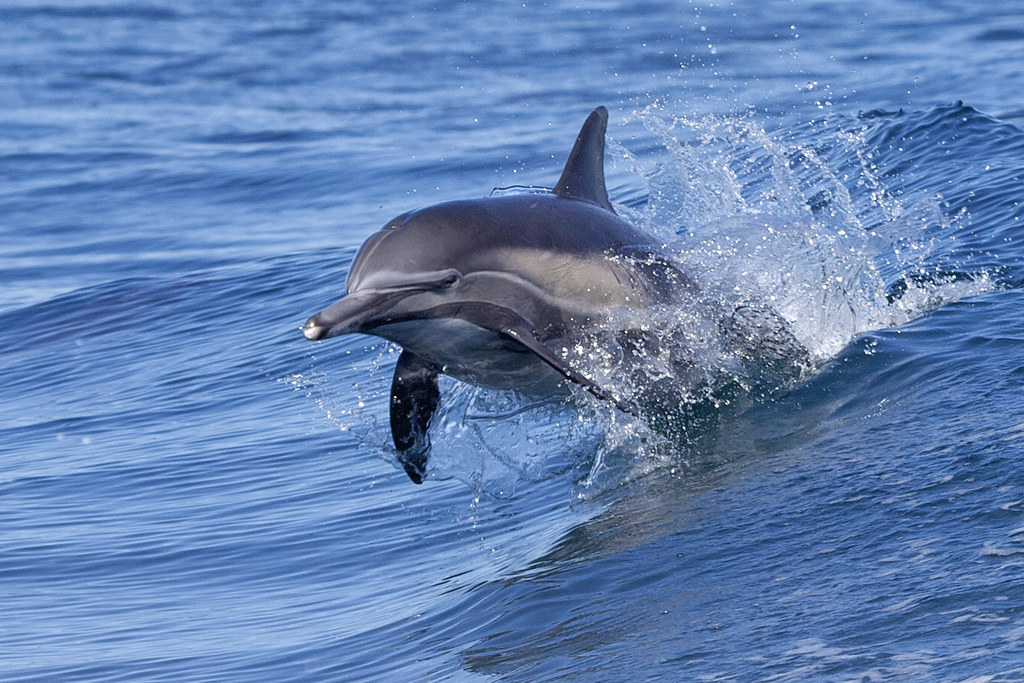 Long Beaked Common Dolphin Delphinus Capensis Playing