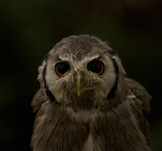 White faced Owl | by charliejgr