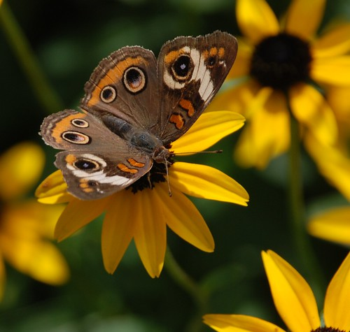 339e buckeye on susans | by jjjj56cp