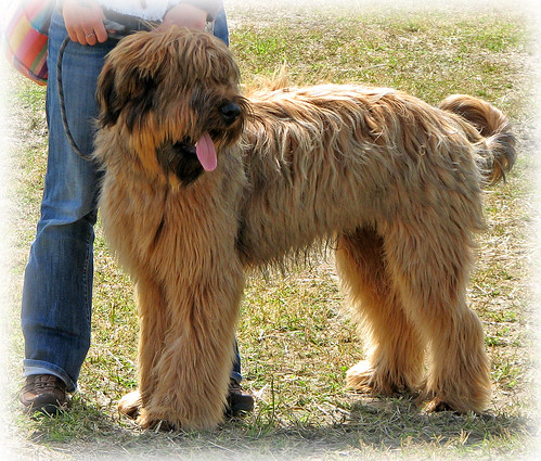 Shaggy Dog (wheaten terrier) | Visiting the Highland Games ...