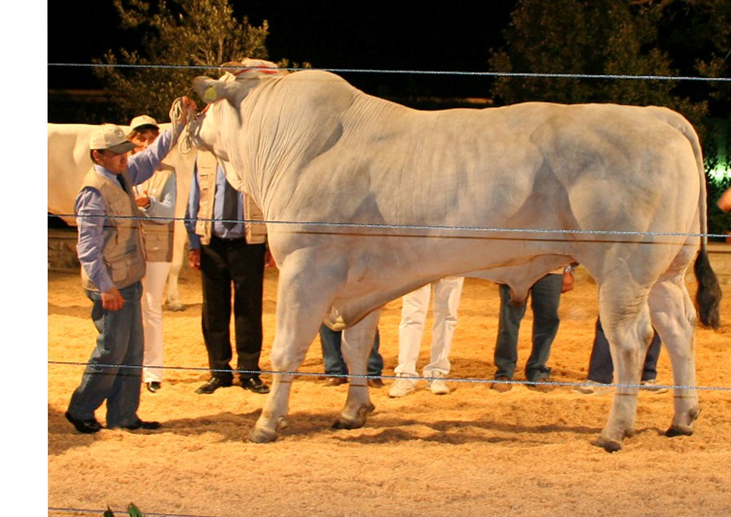 ... bull Lio | www.chianina.co.za | christiaan south africa | Flickr
